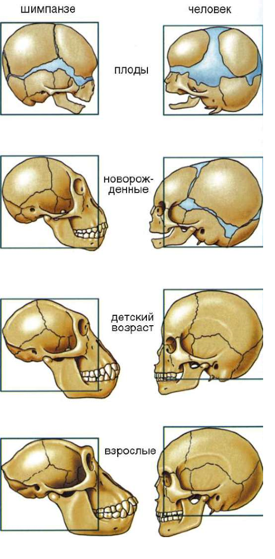 Методы изучения онтогенеза человека и человекоподобных обезьян. Автор24 — интернет-биржа студенческих работ