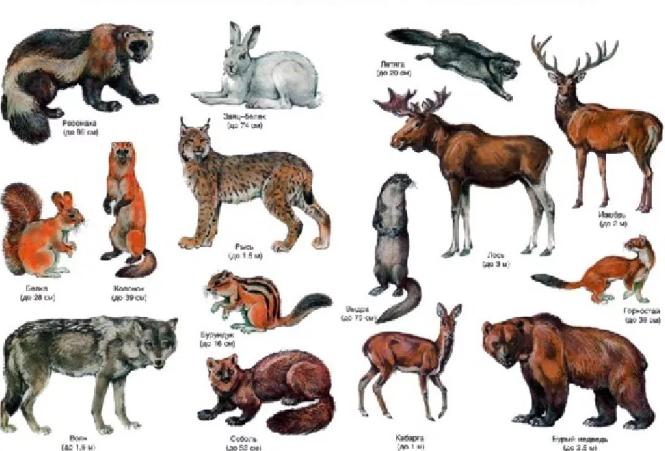 Животный мир тайги. Автор24 — интернет-биржа студенческих работ
