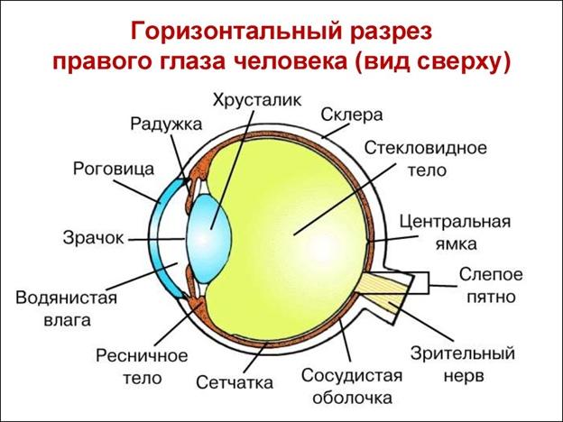 Строение глаза. Автор24 — интернет-биржа студенческих работ