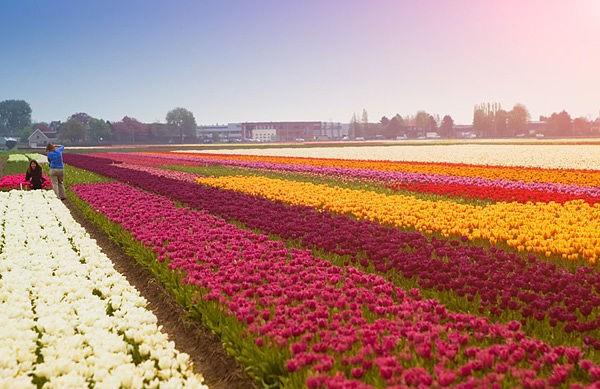 Тюльпаны. Автор24 — интернет-биржа студенческих работ