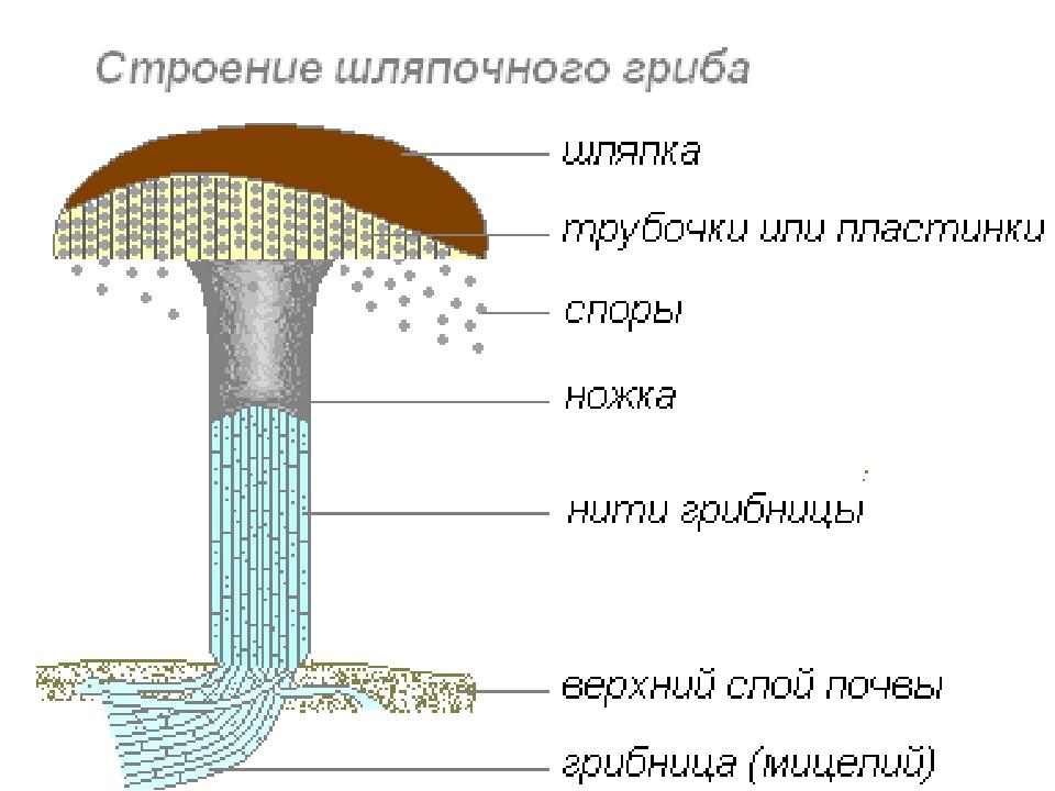 Строение шляпочного гриба. Автор24 — интернет-биржа студенческих работ