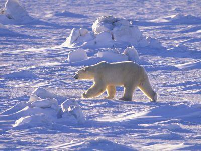 Белый медведь. Автор24 — интернет-биржа студенческих работ
