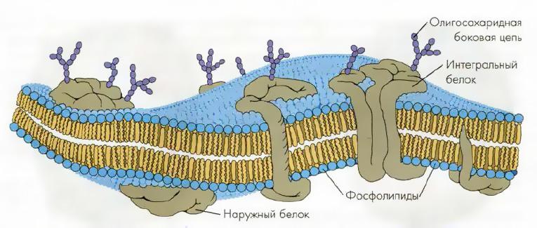 Строение клеточной мембраны. Автор24 — интернет-биржа студенческих работ