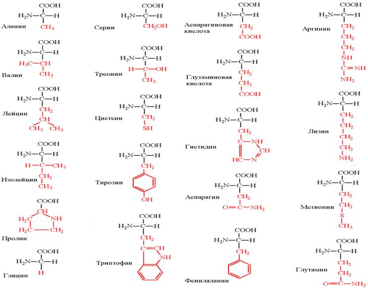 Формулы аминокислот. Автор24 — интернет-биржа студенческих работ