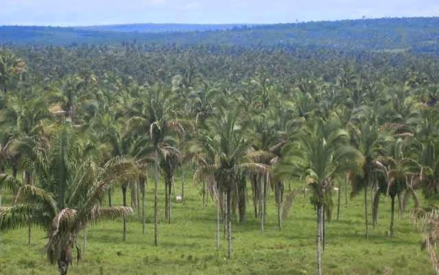 Пальмовые деревья в Бразилии.