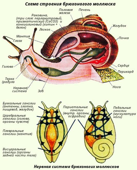 Строение брюхоногого моллюска. Автор24 — интернет-биржа студенческих работ